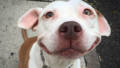 Smiling dog stray pit bull adopted brinks 14.jpg